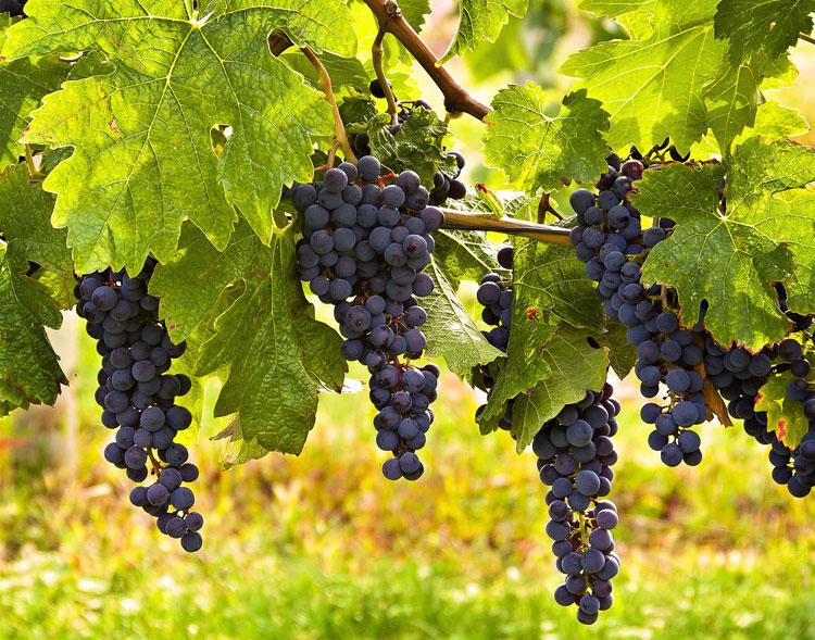 experiencing-the-true-vine